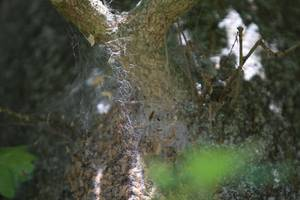 Gespinnstfäden Eichenprozessionsspinner - Foto Gauert.JPG